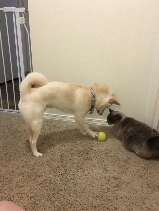 Shiba Inu and cat