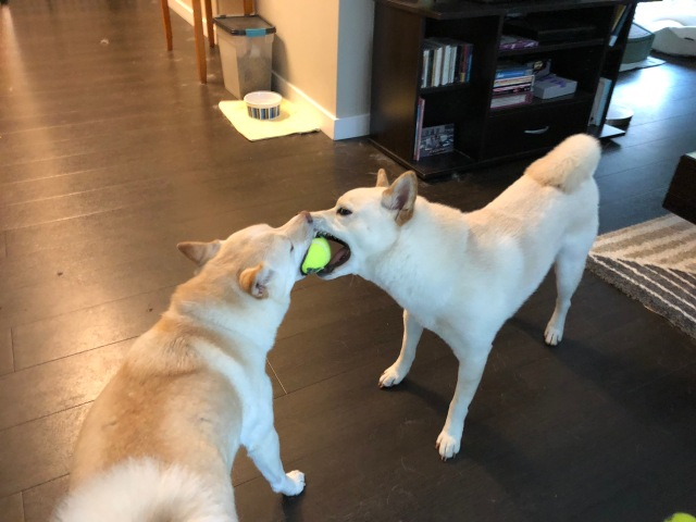 Riley and Tofu, playing with a ball